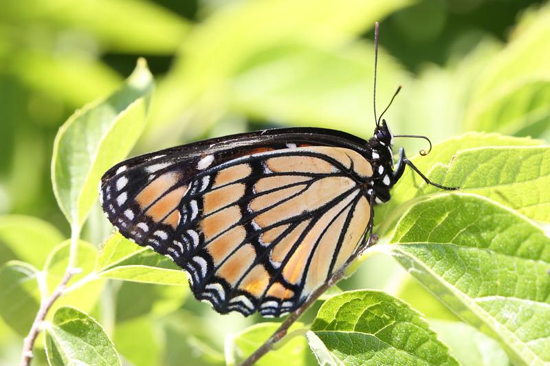 Milkweed Butterfly (Danaini)