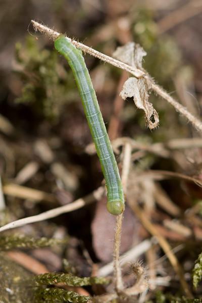 Geometer Moth Caterpillar (Geometridae)