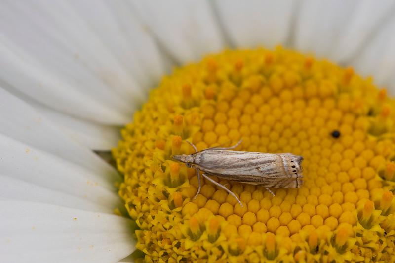 Crambine Snout Moths (Crambinae)