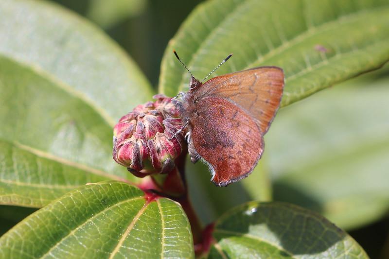 Brown Elfin Butterfly (Callophrys augustinus)