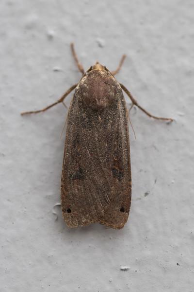 Noctuid Moth (Noctuidae)