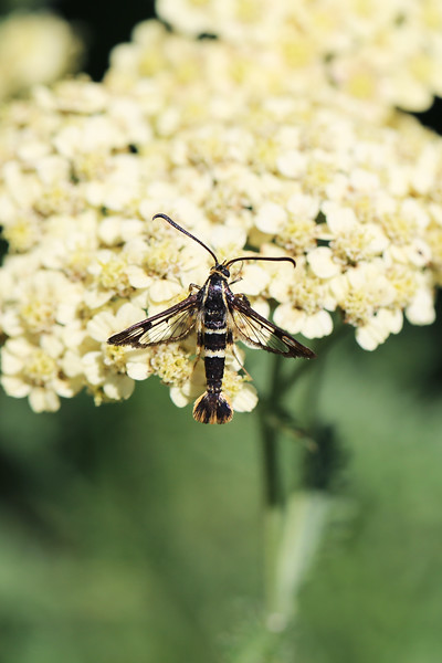 Clearwing Moth (Sesiidae)