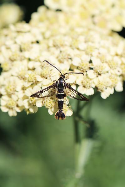 Clearwing Moth (Sesiidae)