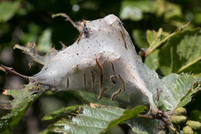Tent Caterpillars (Lasiocampidae)