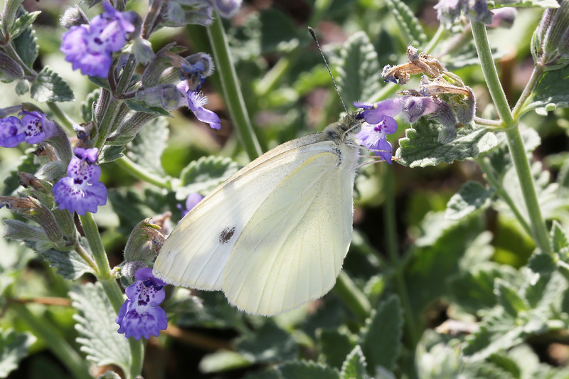 Cabbage White (Pieris)