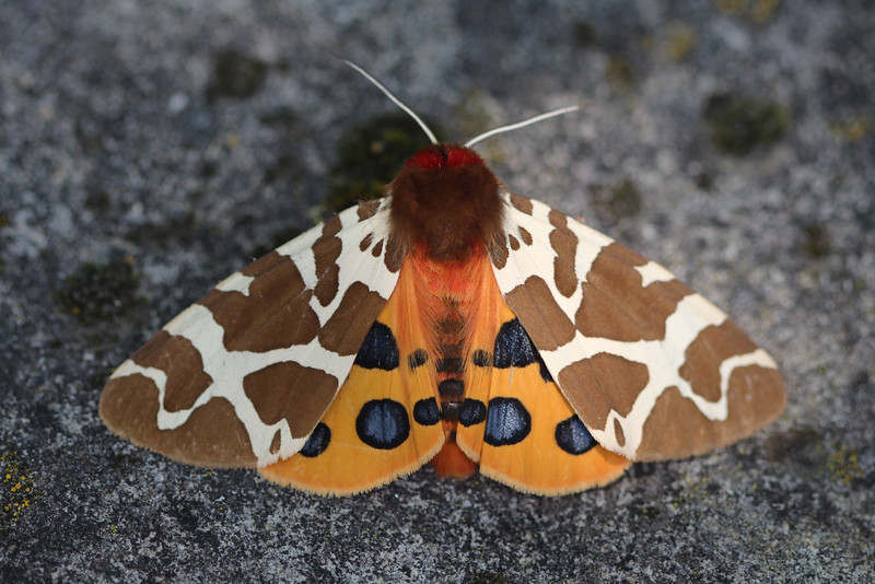 Great Tiger Moth (Arctia caja)