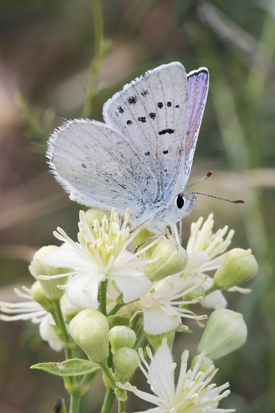 Blue Butterfly (Polyommatinae)