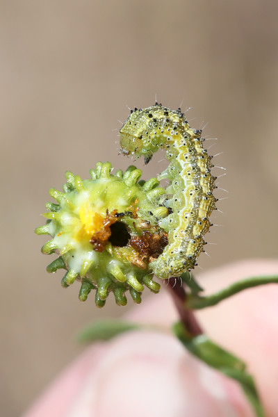 Unidentified Caterpillar (Lepidoptera)