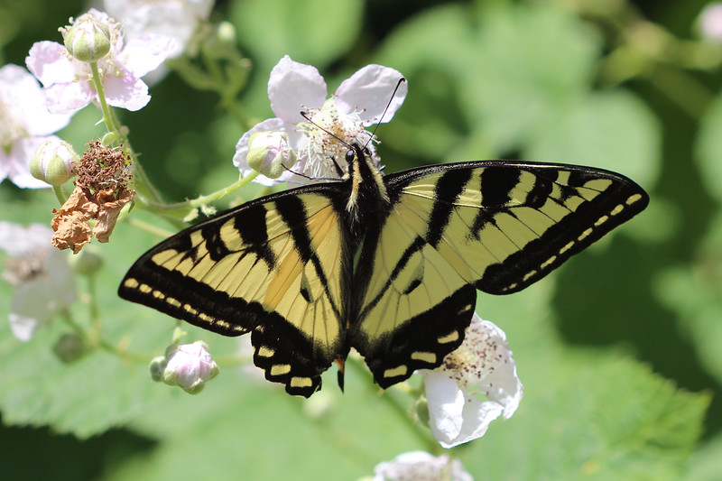 Swallowtails Butterfly (Papilionidae)