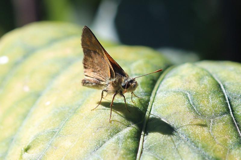 Skipper Butterfly (Hasperiidae)