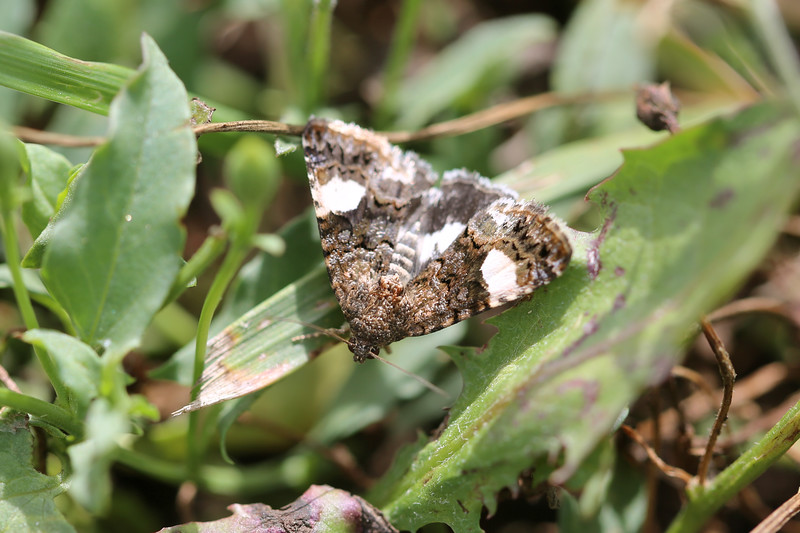 Moth photographed at Koppel Farm, Pullman, WA.