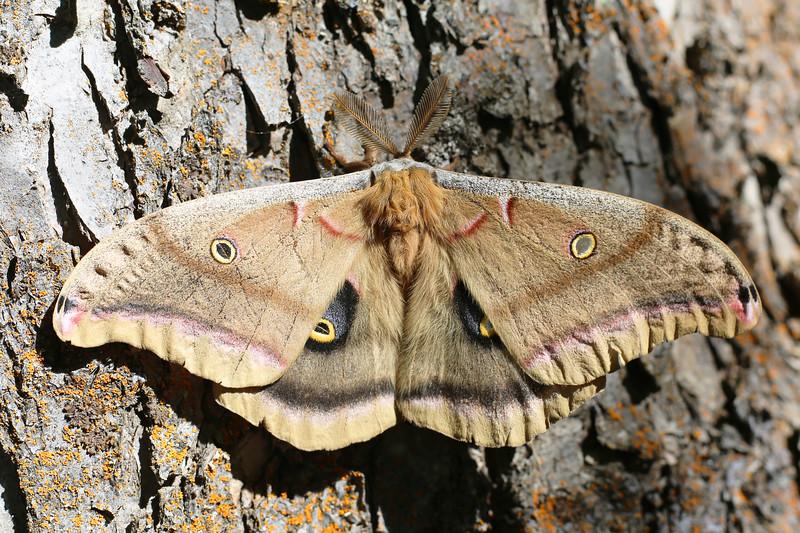 Polyphemus Moth Male (Antheraea polyphemus)