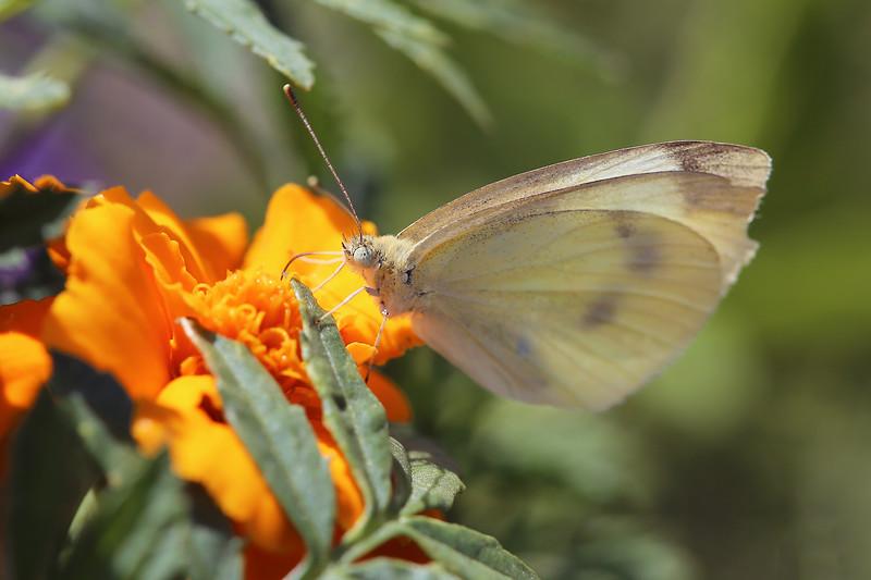White Butterfly (Pieris)