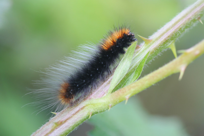 Tiger Moth Caterpillar (Arctiini)