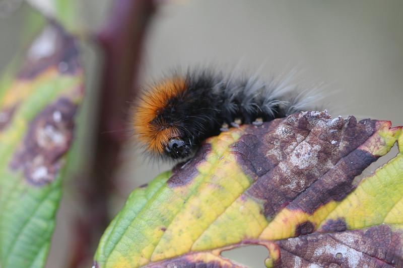 Tiger Moth Caterpillar (Arctiini)