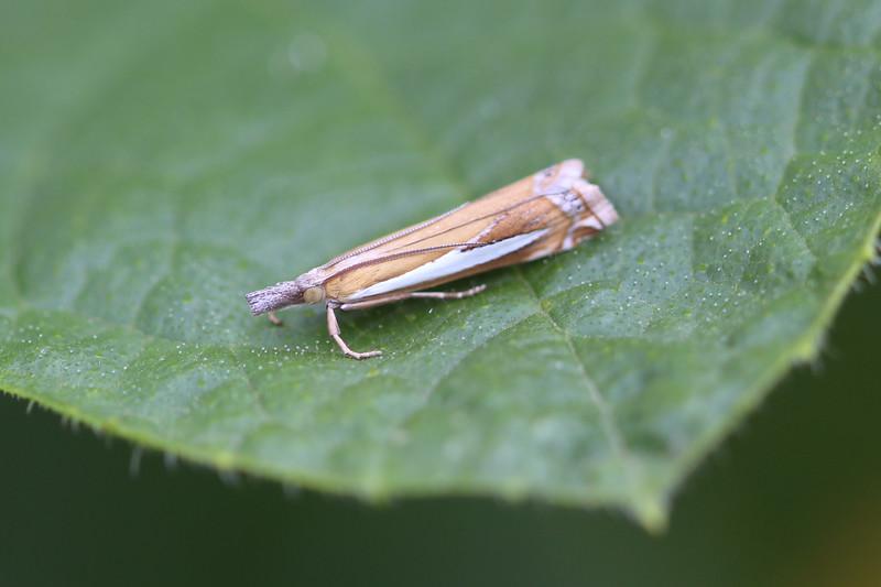 Crambine Snout Moth (Crambinae)