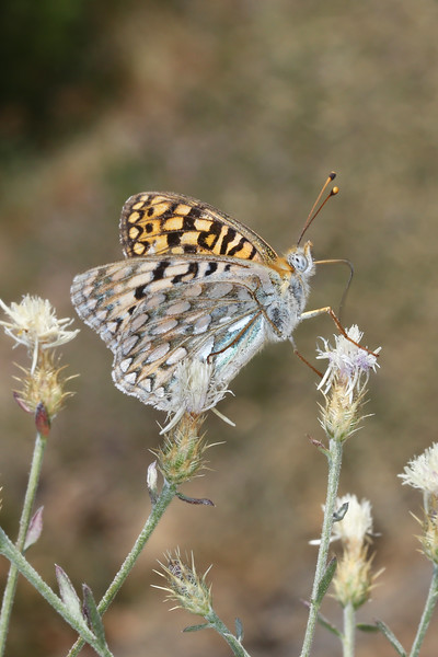 Greater Fritillary (Speyeria)