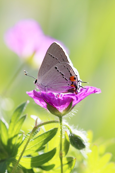 Hairstreak Butterfly (Lycaenidae)
