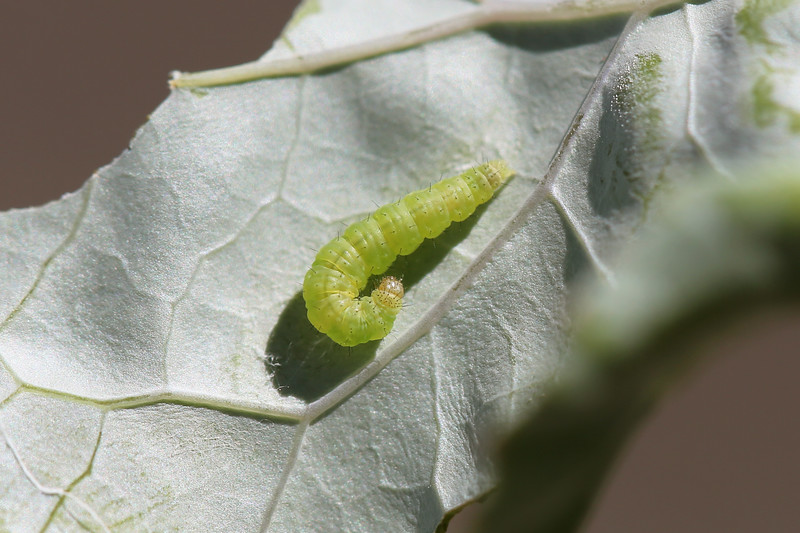Diamondback Moth Caterpillar (Plutella xylostella)