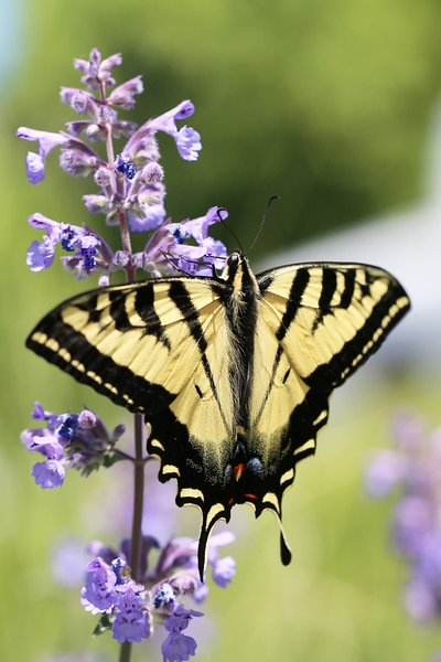 Swallowtail Butterfly (Papilionidae)