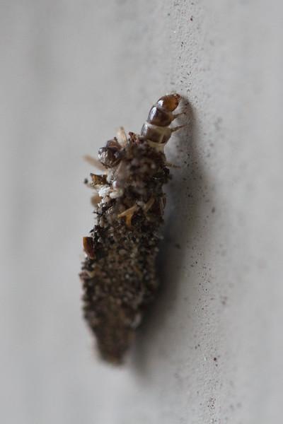 Bagworm Caterpillar (Psychidae)
