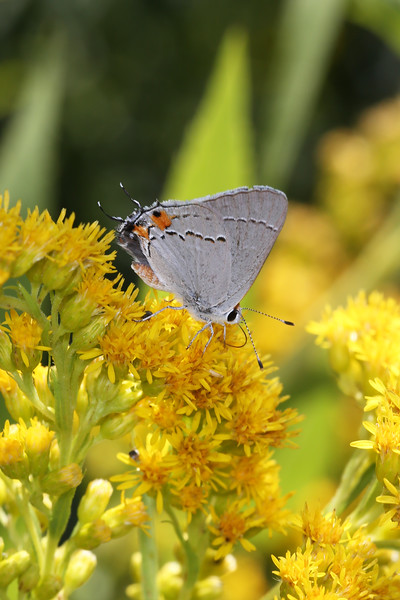 Hairstreak Butterfly (Theclinae)