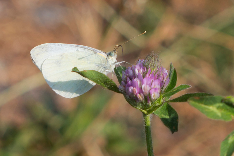 White Butterfly (Pierinae)