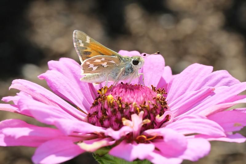 Skipper Butterfly (Hesperiidae_
