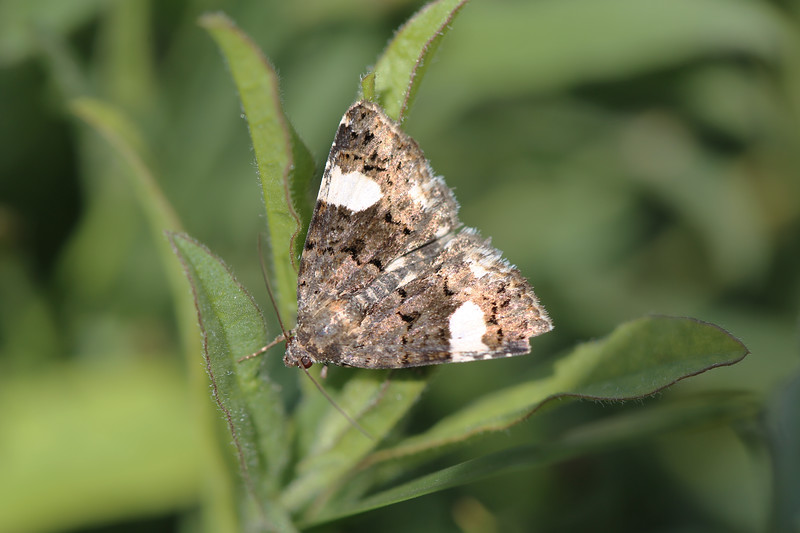 Moth photographed at Koppel Farm, Pullman, WA.