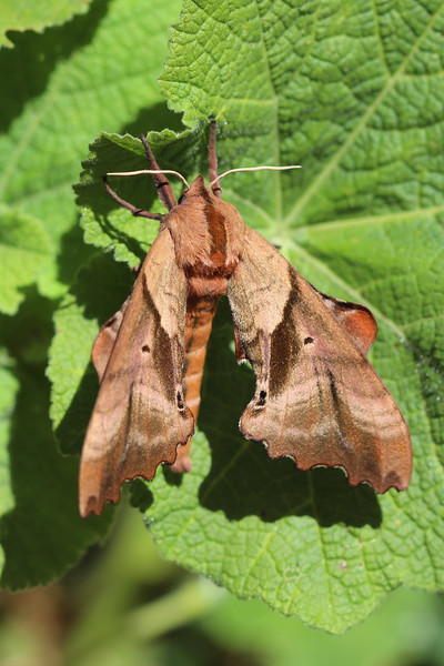 Blinded Sphinx Moth (Paonias excaecata)