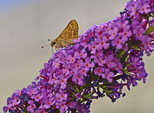 Skippers in the Yard Again: 8-1-17