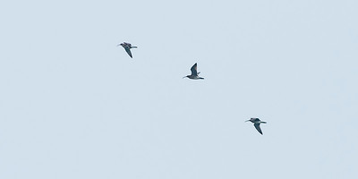 Whimbrels on visit.