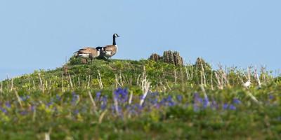 Canadian Goose, a few breeding pairs