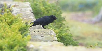 Western Jackdaw - Corvus monedula spermologus - Skokholm Wales