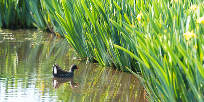Moorhen breeds in the only suitable pond