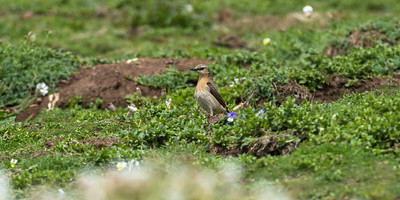 A few pairs of Northern Wheatear breed on Skokholm.