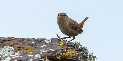 The farmhouse Wren was a very active and loud singer