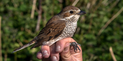 A visiting female Red-backed Shrike caught in one of the Heligoland traps