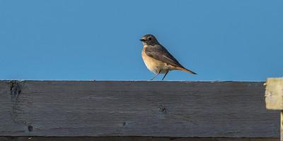 A female Redstart visiting Skokholm.