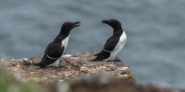 Auks often seem a bit grumpy