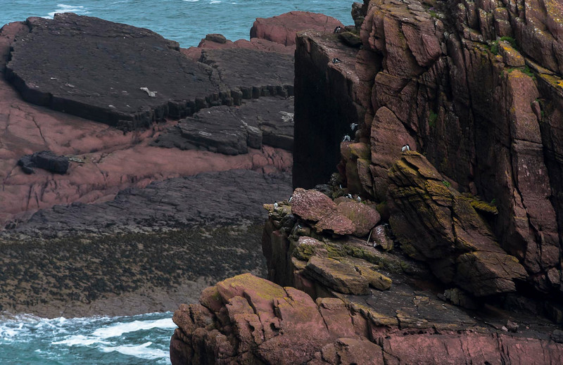 Auks and the red cliffs of Skokholm