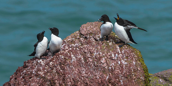 Auks on the red cliffs of Skokholm