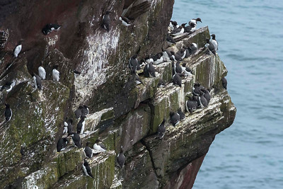 Guillemots and a few pairs of Auks on top and left.
