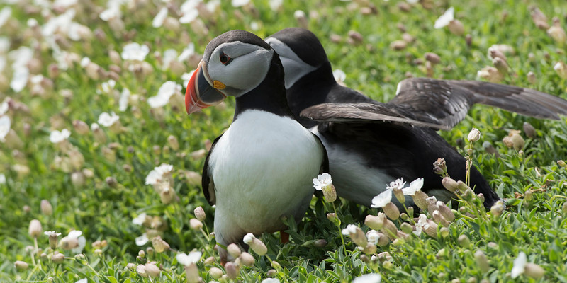 Puffins - the pair outside the hole.