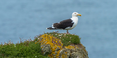 Greater Black-backed Gull - an effective killer of Shearwaters, rabbits, eggs and chicks.