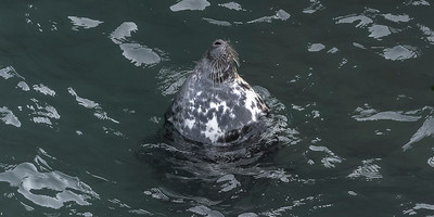 Gray Seal deep at sleep at the harbour.