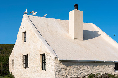 Herring Gulls on the Skokholm farmhouse
