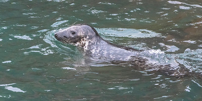 Gray Seal at the harbour.