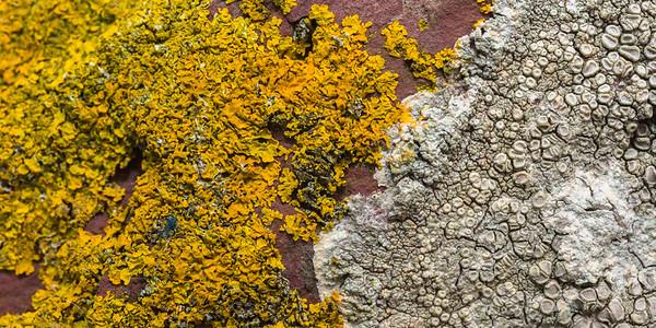 A yellow lichen - Caloplaca verruculifera