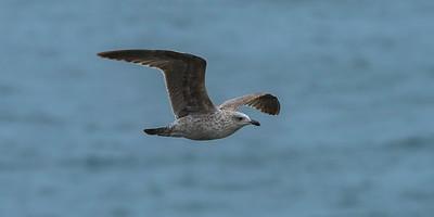 British Lesser Black-backed Gull  - Larus fuscus graellsii - 2K juvenile in april